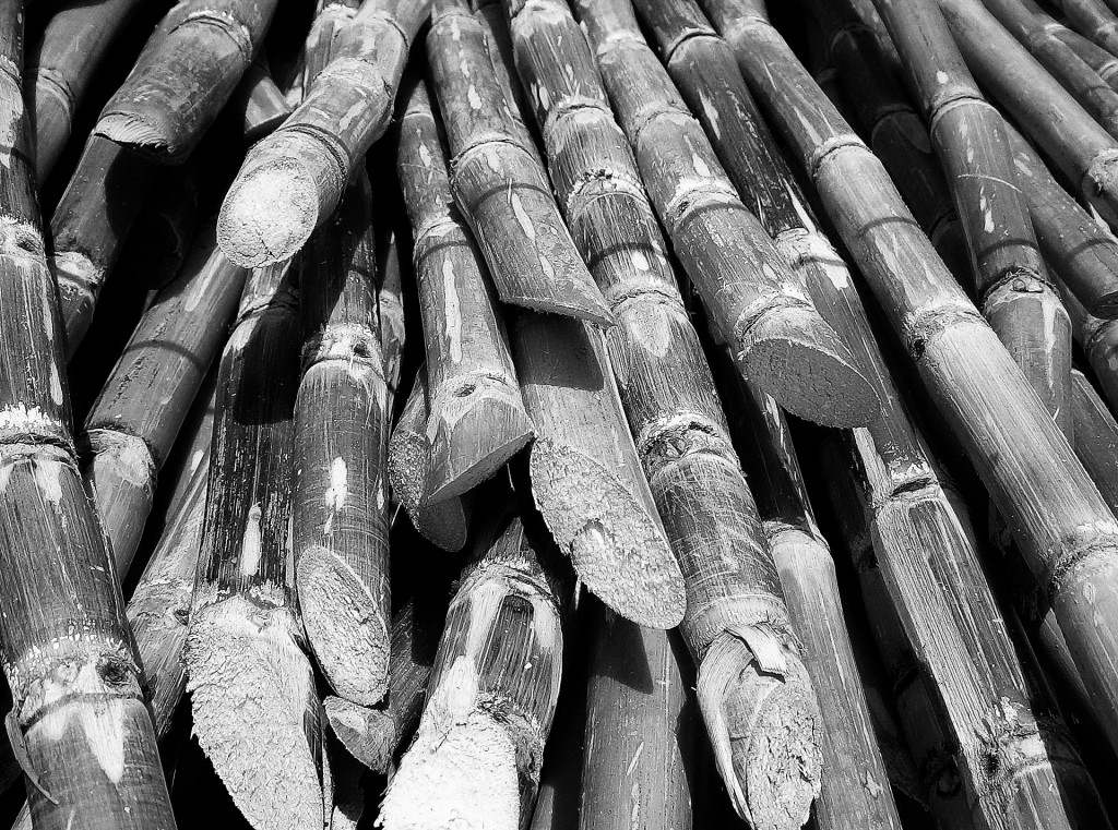 Cut sugar cane. Photo modified to B&W. Photo credit: Wikipedia
