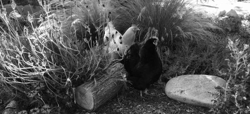 Chickens roaming Monterey County.