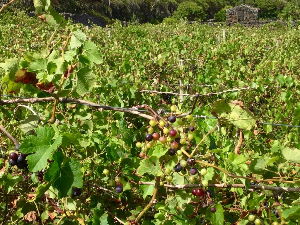 Vineyards in Pico.